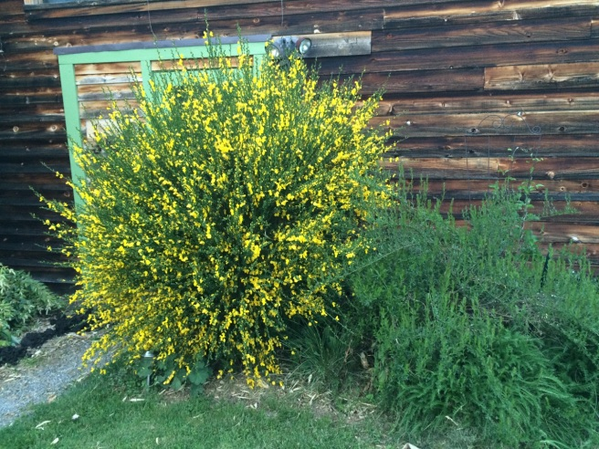 Cytisus scoparius, left Genista tinctoria, right