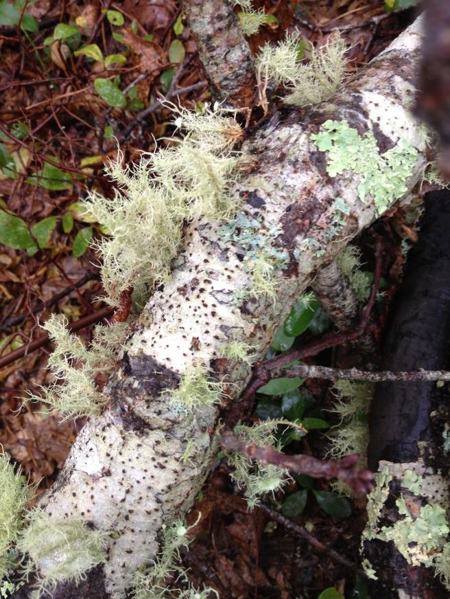 Lichen attached to fallen birch branch