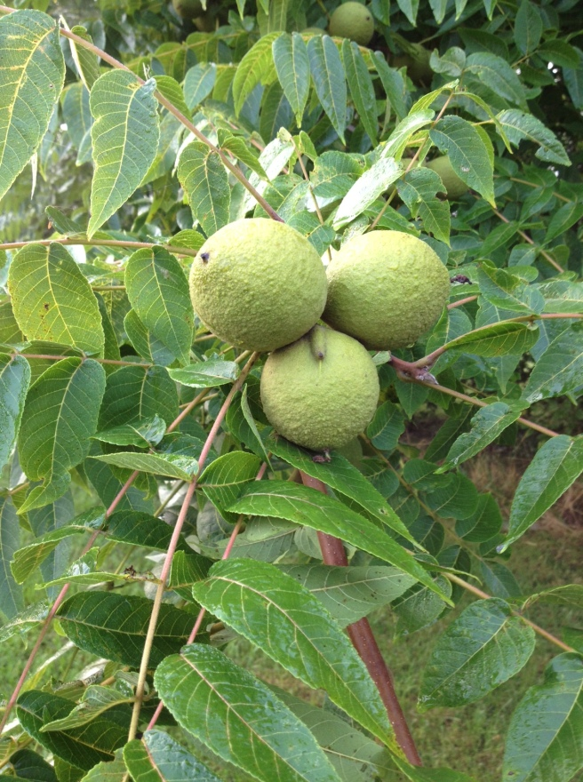 walnut-on-tree