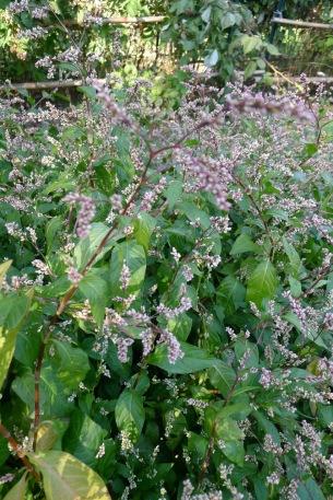 Japanese indigo flowers