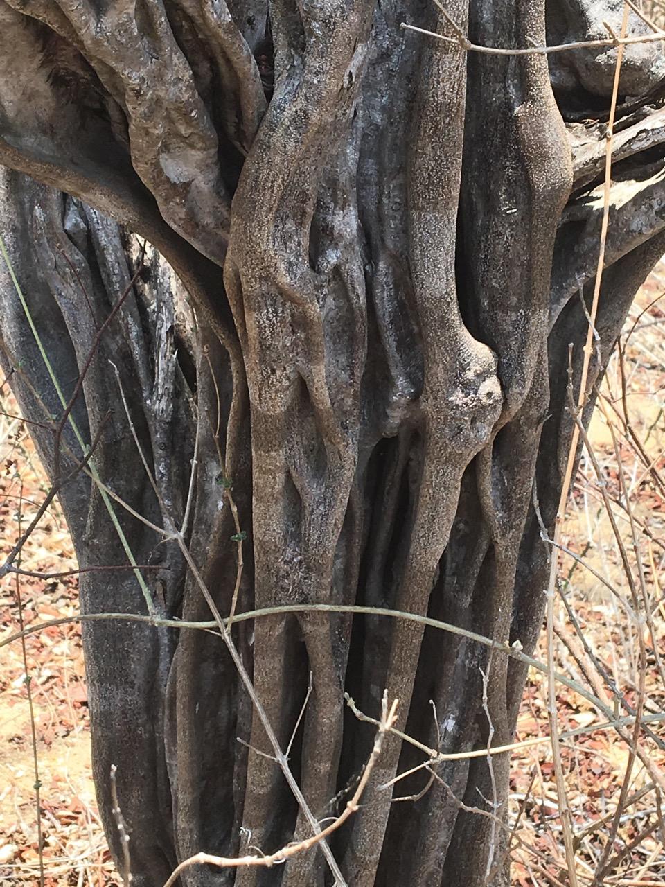 logwood tree mexico
