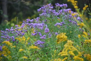 Goldenrod and New England Asters, photo from Denver Botanical Gardens