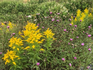 Goldenrod and thistles, Newfoundland, CA