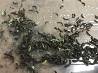 Indigofera suffruticosa seed pods