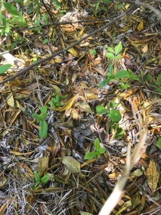 symplocos leaves beneath the tree