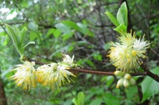 Distinct blossom of the Symplocos tinctoria will help identify the plant